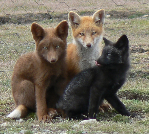 Cute funny foxes - Just for fun, let's tell her we're reincarnated and spent our previous lives playing in a mariachi band.