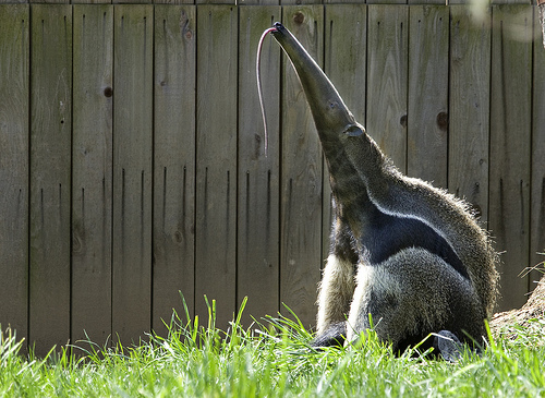 Cute funny Giant Anteater - Eat your heart out Gene Simmons.