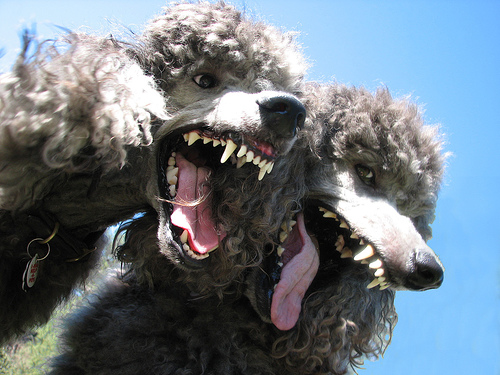 Cute funny Standard Poodles - Get us some mascara and we'll look like an 80's heavy metal band.