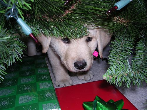 Yellow Labrador puppy hiding under Christmas tree