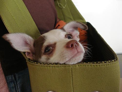 Chihuahua photo by nhanusek