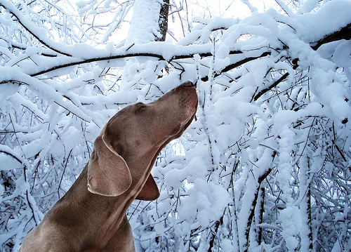 Funny dog pictures Weimeraner Snow