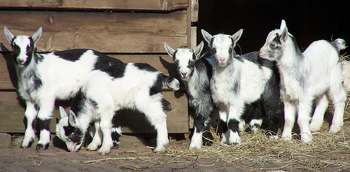 Goat kids in front of barn