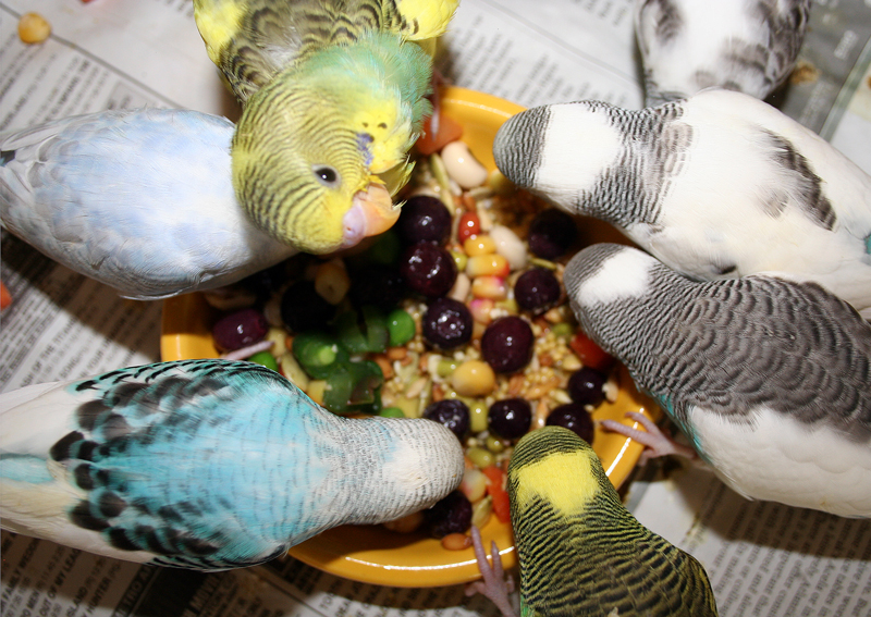 can parakeets eat pelleted diets
