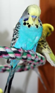 Yellowface type 1 blue English budgie