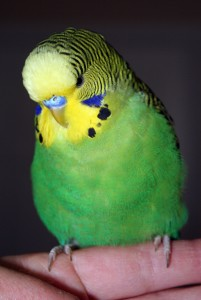 Dark-green English budgie x American parakeet cross
