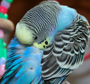 Cobalt-blue Yellowface type 1 American parakeet