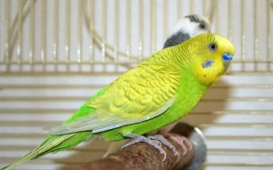 Greywing light-green American parakeet