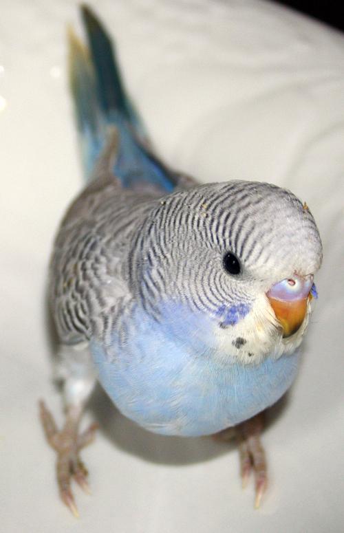 budgie parakeet colors varieties mutations genetics