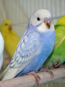 Violet opaline spangle budgie parakeet