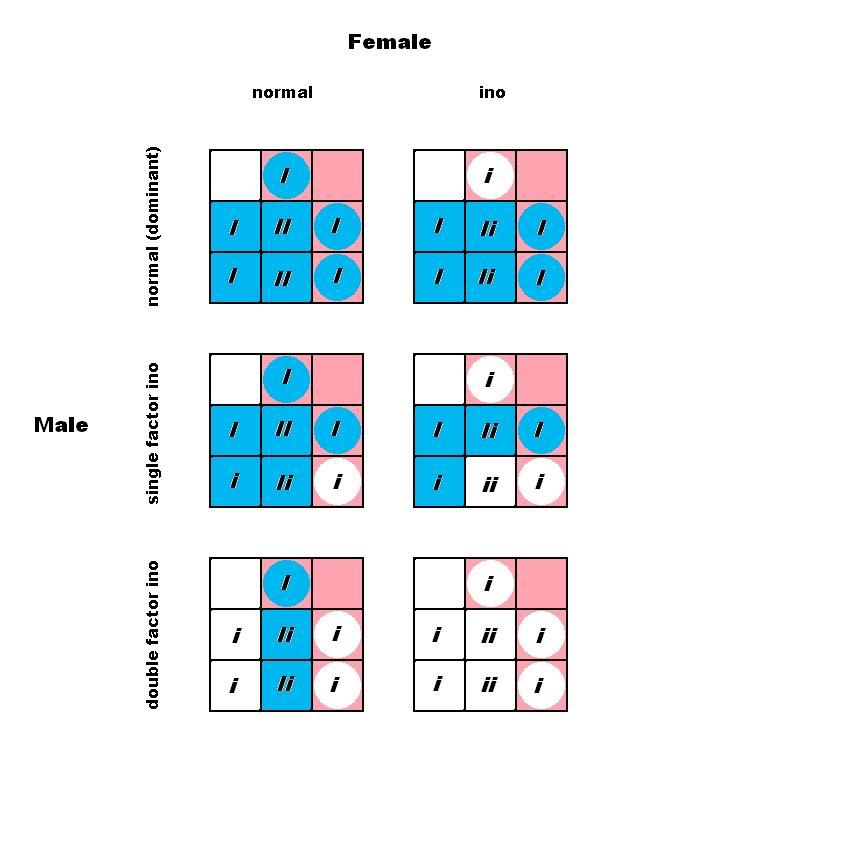 Albino / Lutino / Ino budgie parakeet breeding punnett square