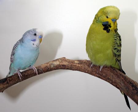 Budgie Parakeet (Budgerigar) Breeder in Colorado