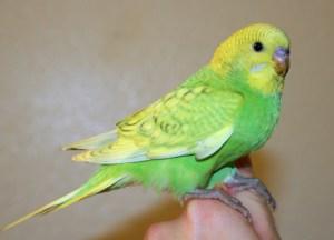 Light-green opaline spangle English budgie x American parakeet cross