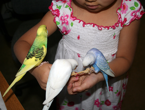 Budgie parakeet food and feeding recommendations nutrition and food forumfinder Image collections