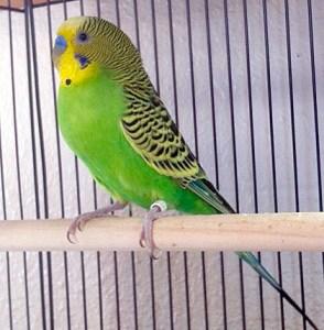Original Australian wild type green budgerigar parakeet