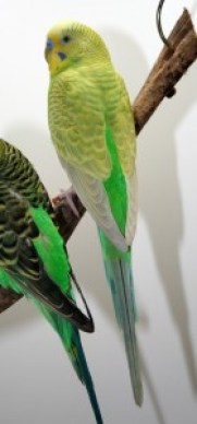 Full-Body-Color Greywing light green American parakeet