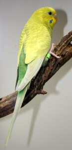 Clearwing dark green American parakeet