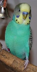 Yellow face type 2 American parakeet