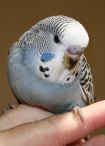 Gray normal English x American budgie