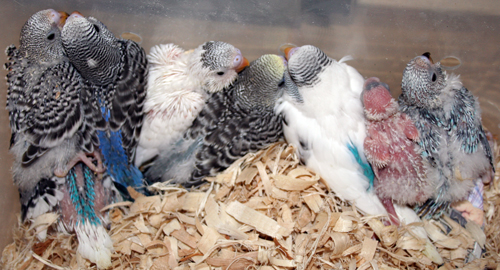 Budgie Parakeet Baby Pictures