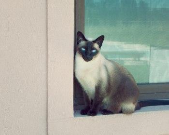 gato obeso
