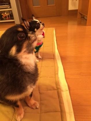 今日12月3日でみみちゃんが1歳を迎えることになりました\(^o^)/ どんだけ食べても、いつまでも小ぶりのみみちゃんです。 ここちゃんやれんちゃんも一緒にまたお里帰りさせてください。