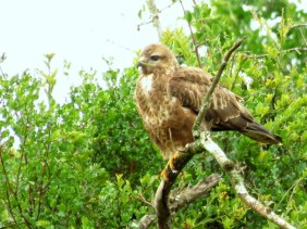 The steppe buzzards posed beautifully