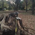 昨日の続きで、林試の森公園です。 私のお気に入りの切り株で不安なパチリ。 今回は、登り降りの練習もしましたよ♪ 降りるはできましたが登るが課題。ポルト、一緒に楽しみながら練習しようね(o^^o)