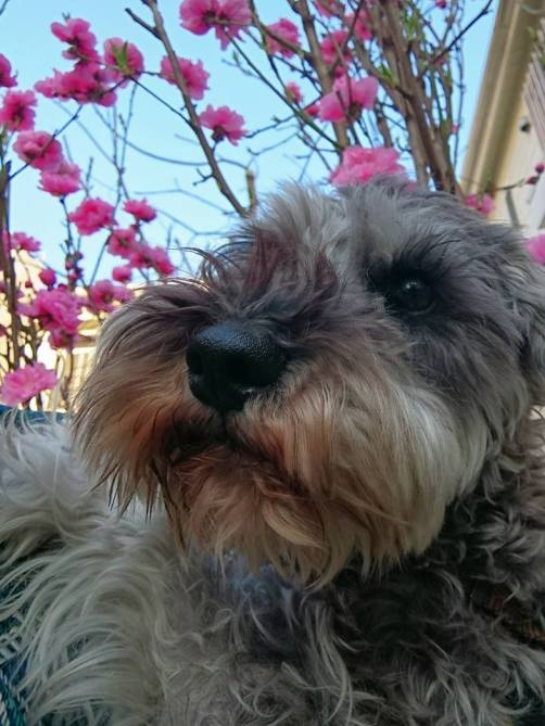 桜が一気に咲きましたね!あちらこちらでお花も咲いて、お散歩で眺めるのが最近の楽しみのひとつです♪ 今日は桃の花とパチリ。