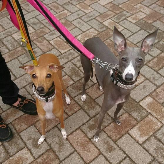 ビビちゃん&スリちゃん、お散歩レッスンでパチリ。 トレーニングモードになるとお顔が変わるの。とママさん。 トレーニングって楽しいね(*´ー`*)♪