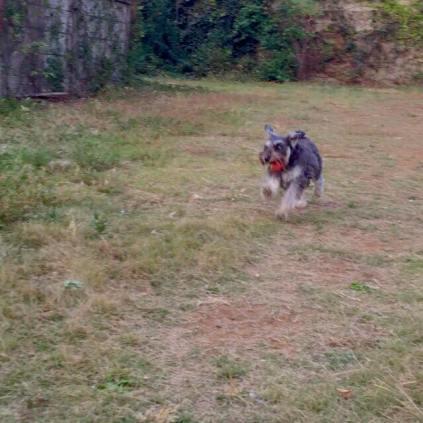 原っぱでたっぷり遊んだ後は、ブラッシング!たくさん付いた枯葉やら蔦やら種などを取るのが大変な季節になってきましたね。 それにしても、ポルトのお顔が・・・