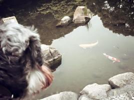 近くの公園で鯉を鑑賞♪ ちょっとした日常の経験を積むのも社会化トレーニング!子犬だけでなく成犬もシニア犬にも大切です(o^^o)