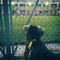 今日の散歩はサッカー見学をしてお子さん慣れ練習をしました。広いグラウンドを転がるボールと走るお子さんたちに、興奮気味でした(*゚▽゚*)
