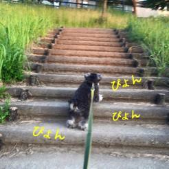 パピーの頃は、階段がニガテだったポルト。トレーニングで克服した今は、この通り、たくましく登ります! ニガテな頃のトレーニングブログはこちら→http://s.ameblo.jp/chidoribeans/entry-11940147521.html