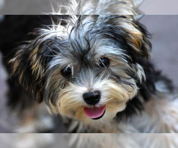 Sturdy Pembroke Welsh Corgi Puppies Dogs Ohio Corgi Husky