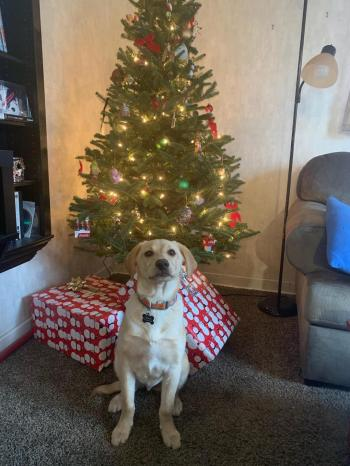 Bev R-Cooper Christmas pic. He is Blitz brother, 2 pups saved after being dumped and terrified at a shelter and transported on PuppyMill Express! 1st Christmas with his loving family! <3