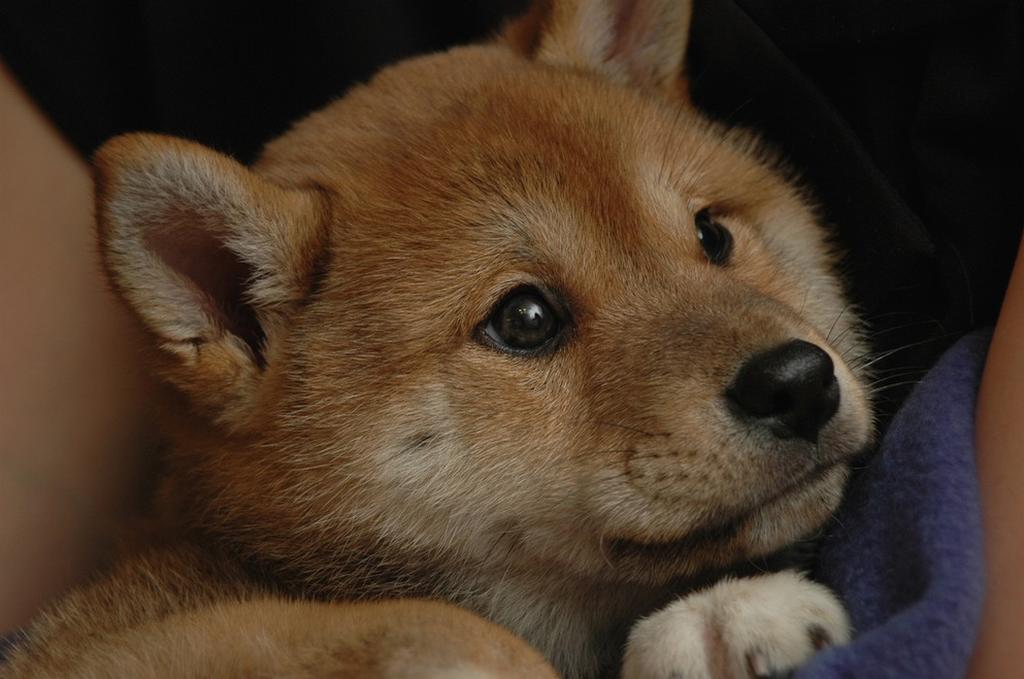 artikel terkait cute shiba inu puppies