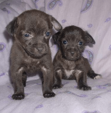 Dark Brown Yorkie Chihuahua Puppies PicturePNG 2 Comments