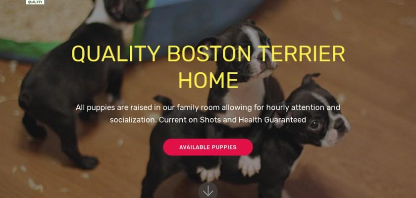 Qualitybostonterrierhome.com - Terrier Puppy Scam Review