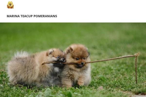 Marinateacuppomeranian.com - Pomeranian Puppy Scam Review