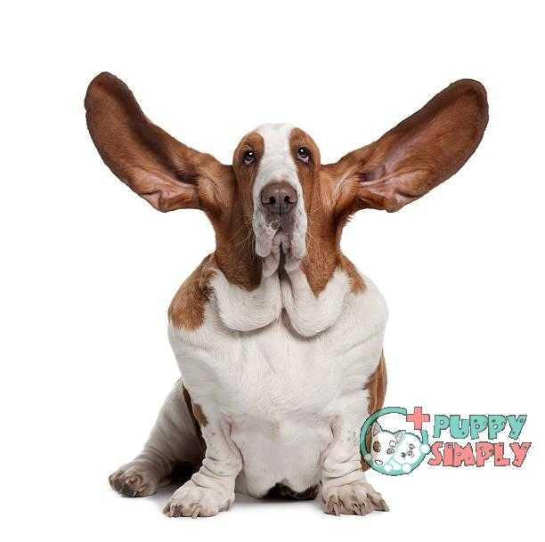 Why Should You Clean Your Dog's Ears best dog ear cleaners