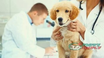 Healthy puppy after medical exam how long does a female dog stay in heat