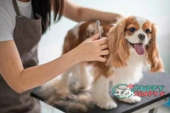 a chinese female dog groomer grooming a Cavalier King Charles Spaniel dog how long does a female dog stay in heat