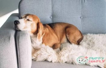 Beagle sleeps on cozy sofa How Do You Get Rid Of Dogs Hiccups?