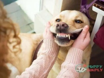 dog golden retriever portrait - teeth dog s and pictures how many teeth does a dog have