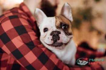 close up of a cute french bulldog - french bulldog s and pictures French Bulldog