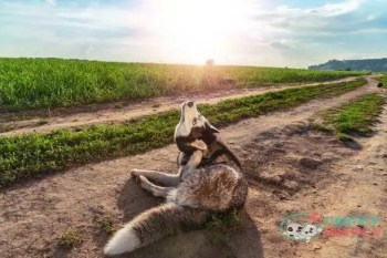 funny dog scratches his ear. husky dog ridiculously stretches neck to comb ear with his paw. concept of itching in ear. - ear mites in dogs s and pictures how to kill ear mites in dogs