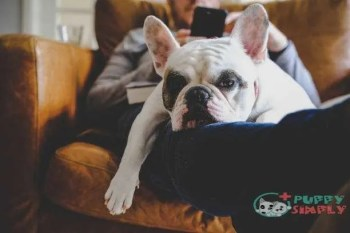 french bulldog sleeping on man using his smart phone - french bulldogs stock pictures royalty-free photos & images French Bulldogs