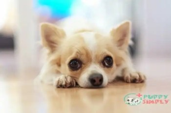 Chihuahua toy dog breeds
