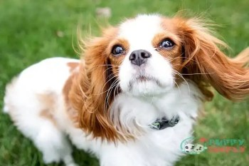 English Toy Spaniel toy dog breeds